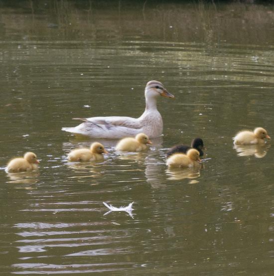 duck-news