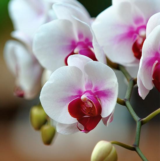 orchid-front-module