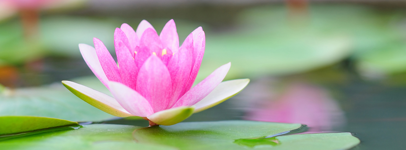 water-lily-header