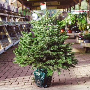 Fresh Potted Christmas Trees