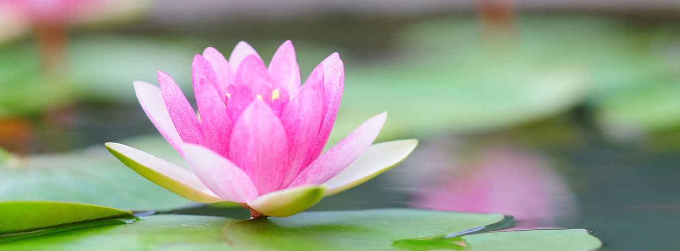 water-lily-heading-1365x505pc